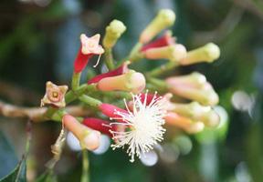 chiodo-garofano-fiore